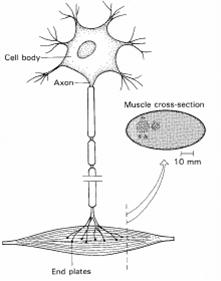 motoneuronio